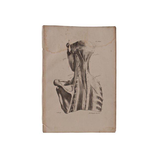 19th Century Musculature Prints - Set of 3 - Image 4 of 4