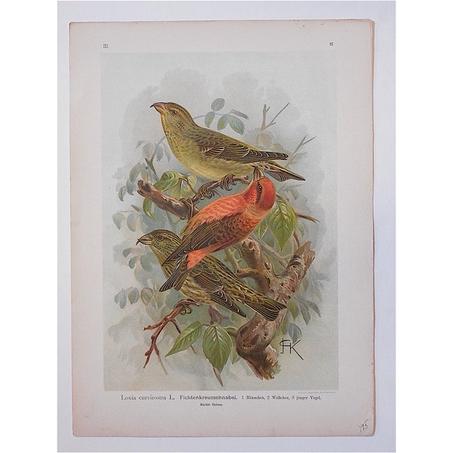 Antique Lithograph - Birds - Image 2 of 3
