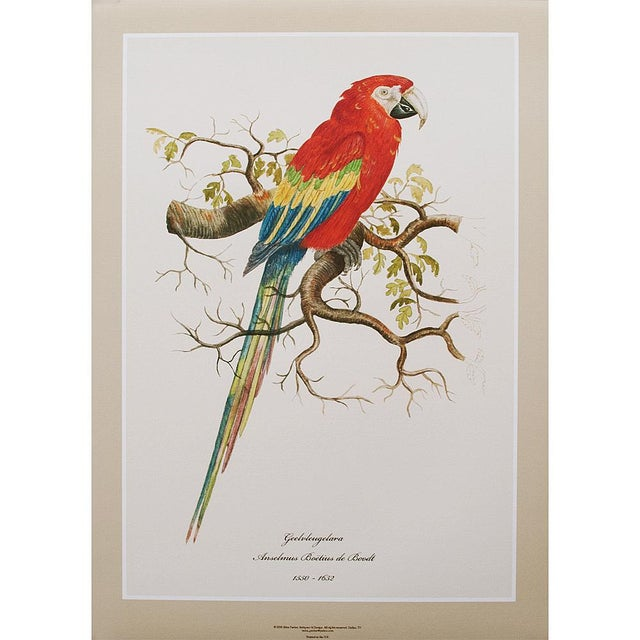 Red 1590s Scarlet Macaw , XL Print by Anselmus De Boodt For Sale - Image 8 of 8