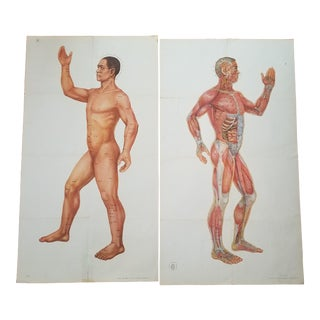Vintage Male Anatomical Sience Poster - a Pair For Sale