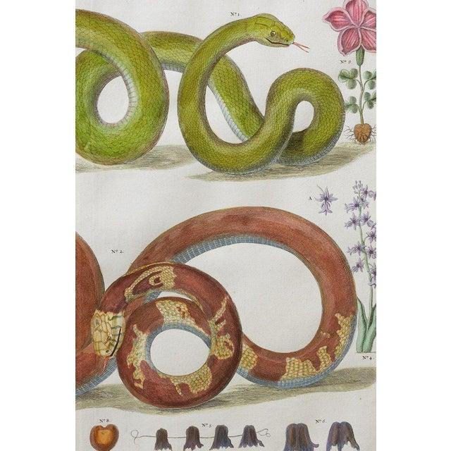 Set of Four Albertus Seba Hand-Colored Snake Prints For Sale - Image 9 of 13