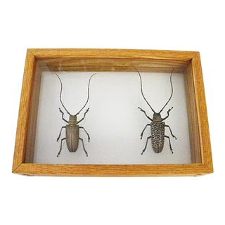 Vintage Entomology Wall or Desk Art For Sale
