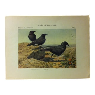 """1925 """"Fish Crow"""" the State Museum Birds of New York Print For Sale"""
