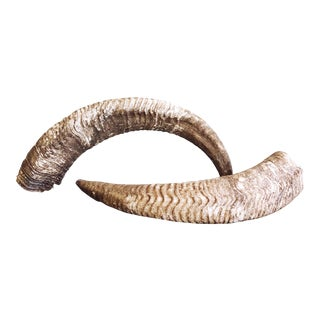 Vintage Natural Ram's Horns - a Pair For Sale