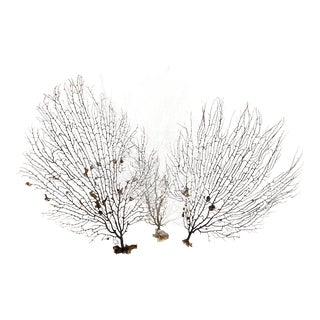 Natural Sea Fan Grouping - Set of 3 For Sale