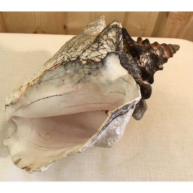 White Natural Conch Shell For Sale - Image 8 of 9