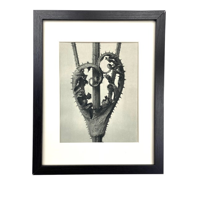 Framed Antique Botanical Blossfeldt Print - No. 44 For Sale