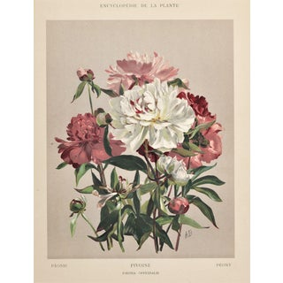 Matted 1902 Peony Botanical Chromolithograph Print For Sale