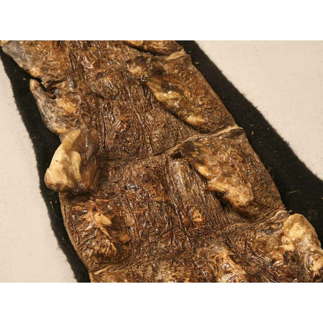 Authentic Nile Crocodile Skin With Felt Backing For Sale In Chicago - Image 6 of 11