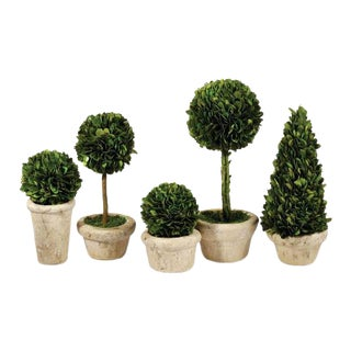 Boxwood Topiaries in Pots - Set of 5