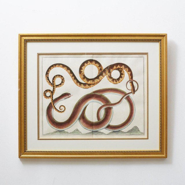 Impressive set of four hand-colored snake engravings or plates by Albertus Seba. Plates C, LXXXVIII, LXXII, and LXXXIII...