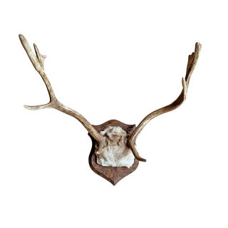 Fallow Deer Trophy Mount For Sale
