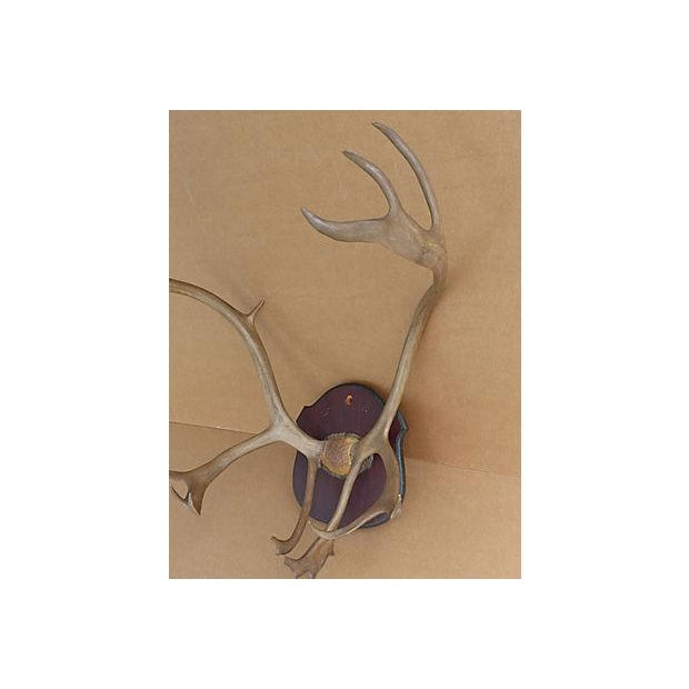 Wall Mounted Taxidermy Elk Antlers - Image 7 of 8