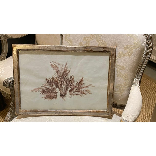 Antique seaweed print in silver leaf frame.