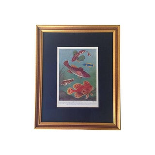 Framed Antique Ocean Fish Lithograph, C. 1900 For Sale