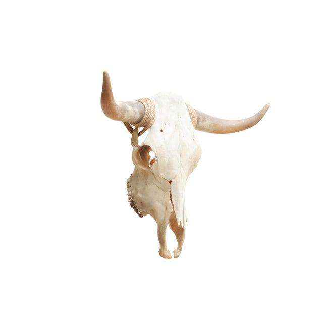 An authentic longhorn steer skull with original upward turned horns and a full set of teeth. Horns are bound at the joint...