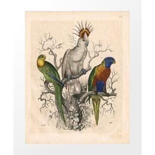 Vintage 3 Parrots Archival Print For Sale