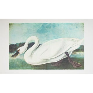 1966 Cottage Style Lithograph of Whistlin Swan by John James Audubon