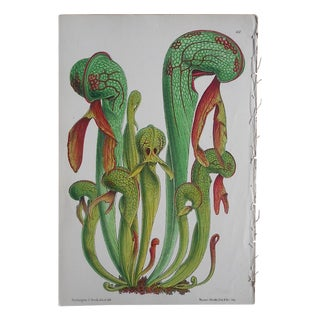 Antique Carnivorous Plant Lithograph