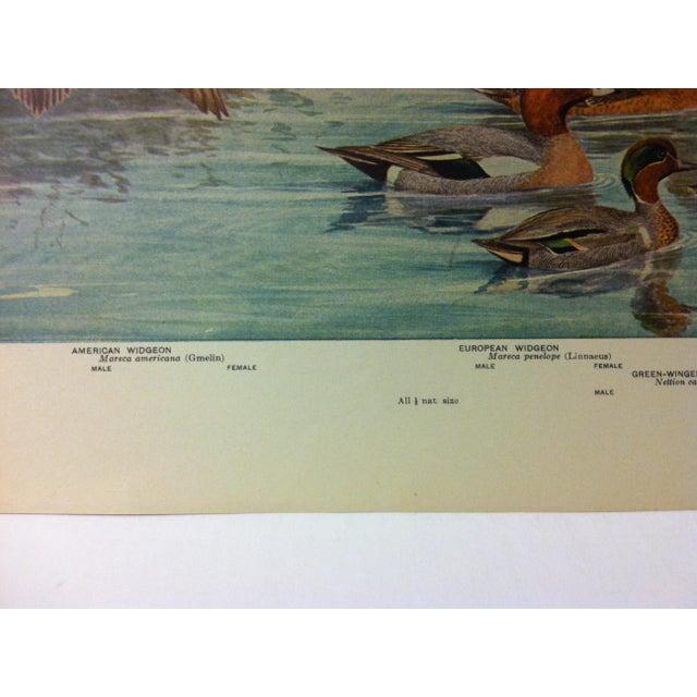 "Realism 1925 ""American Widgeon - European Widgeon"" the State Museum Birds of New York Print For Sale - Image 3 of 4"
