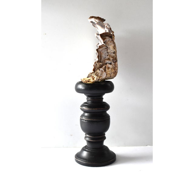 Mid 20th Century Vintage Curio Cabinet Mollusk Shell on a Pedestal For Sale - Image 5 of 9