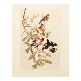 1960s Cottage Lithograph of Rose-Breasted Grosbeak by John James Audubon For Sale