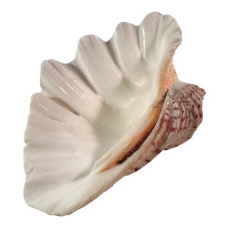Natural White Clam Shell