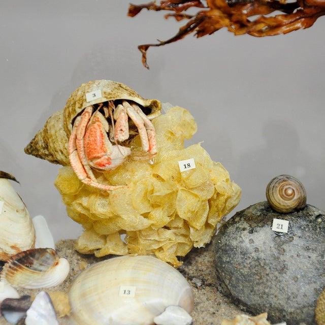 Folk Art Antique Natural Wunderkammer Aquarium Specimen For Sale - Image 3 of 7