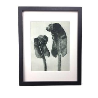 Framed Antique Photogravure Blossfeldt Botanical Print - No. 36 For Sale