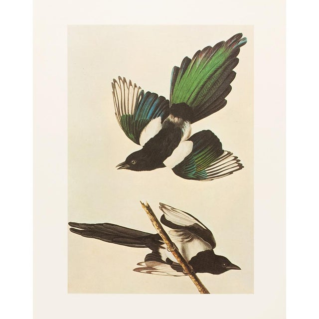 A gorgeous large vintage reproduction of the original watercolor of the American Magpie by John James Audubon. Comes from...