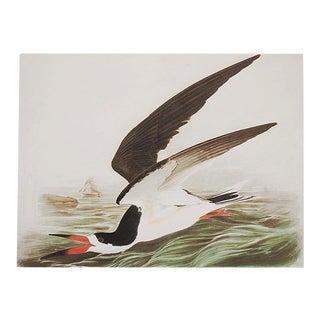 "1966 XL Audubon ""Black Skimmer"" Print"