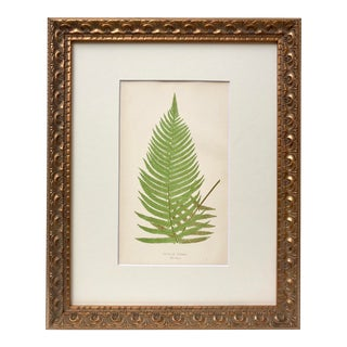Antique Fern Lithograph by Edward J. Lowe 19th C. London For Sale