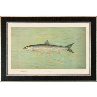American Fish 16 the Cisco of Lake Geneva by Harris CFA Edition Giclee Print For Sale