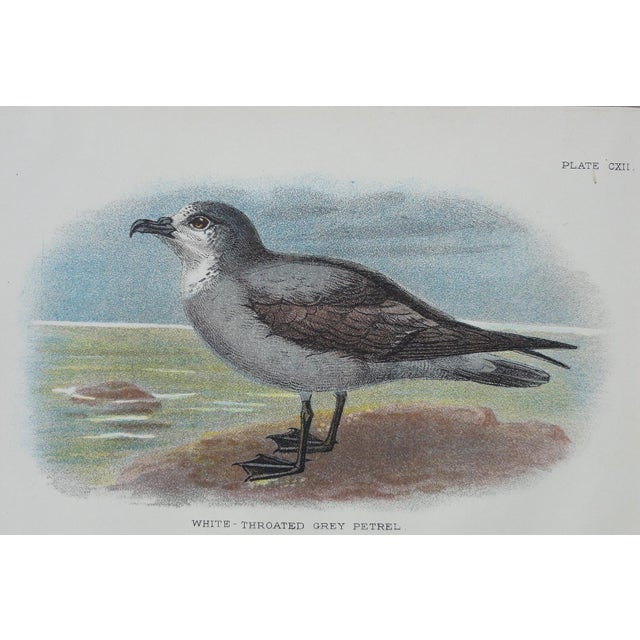 White Throated Grey Petrel Print, 1890 - Image 3 of 4