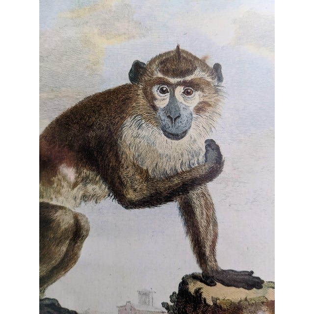 Gold Late 20th Century Hand-Colored Engravings of Monkeys After G. Buffon, Framed - Set of 4 For Sale - Image 8 of 13