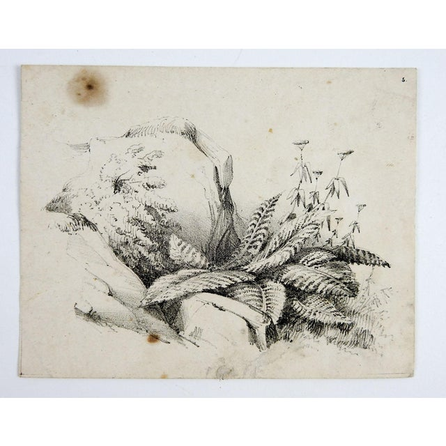 Circa 1900 Nature Study Lithograph - Image 3 of 3