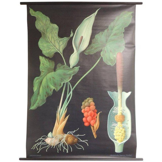 "Vintage Botanical West German Biology Print ""Arum"" by Hagemann, Germany, 1972 - Image 4 of 4"