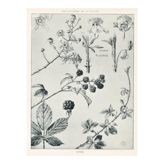 1904 French Art Nouveau Botanical -Fruit-Blackberry For Sale