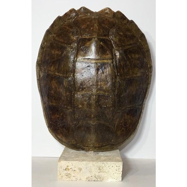 Vintage Turtle Shell on Coral Base - Image 3 of 9