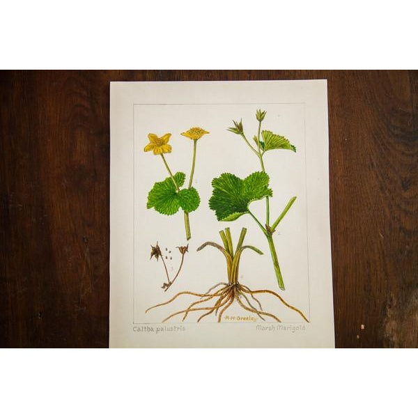 Original watercolor painting vintage late 1930s to early 1940s illustrating Marsh Marigold (Caltha Palustris). The seller...