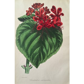 Antique Clerodendrum Floral Botanical Print For Sale