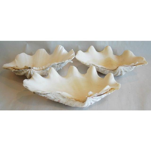 Antique Nautical Seashells Clamshells - Set of 3 - Image 7 of 10