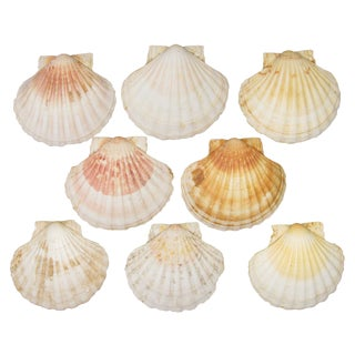 French Mediterranean Scallop Shells - Set of 8 For Sale