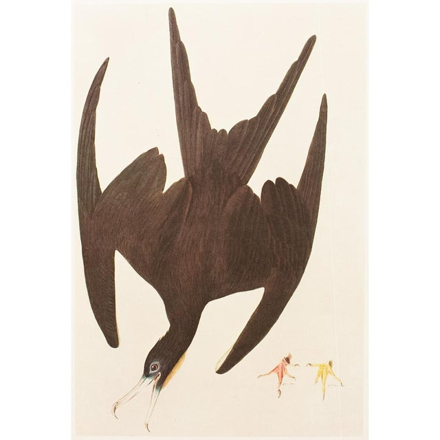 Lithograph 1966 Cottage Lithograph of Magnificent Friagtebird by Audubon For Sale - Image 7 of 7