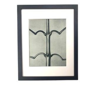 Framed Antique Botanical Blossfeldt Print - No. 19 For Sale