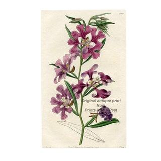 The Ragged Robin, 1820s Botanical Print For Sale