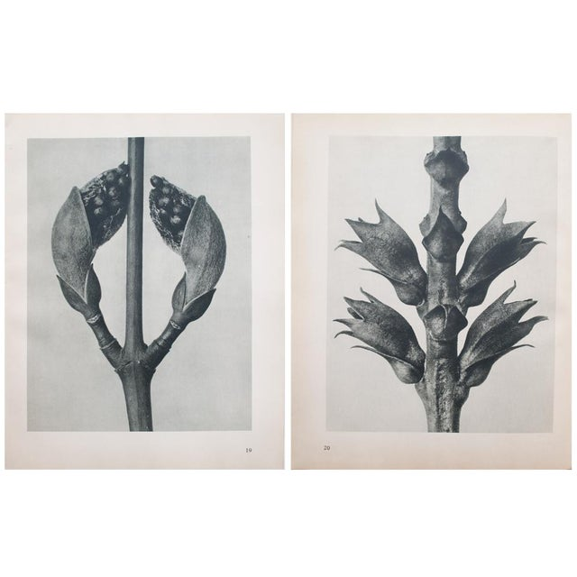 1935 Karl Blossfeldt Photogravure For Sale - Image 11 of 12