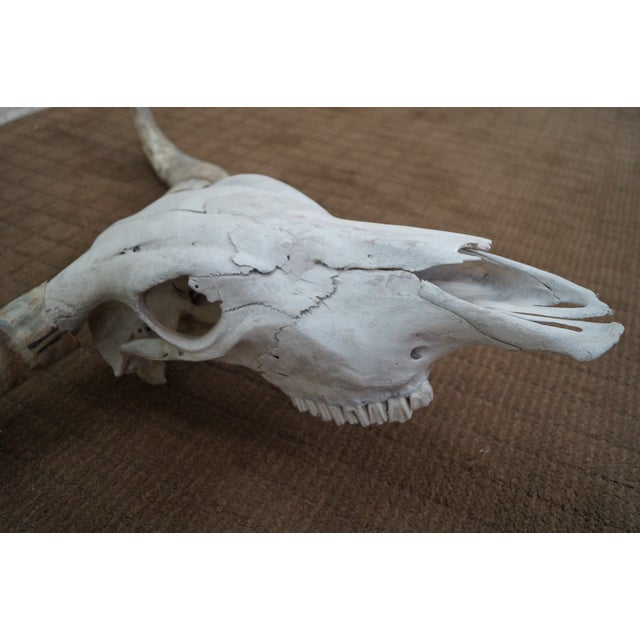 Genuine Texas Longhorn Natural Skull with Horns - Image 8 of 10