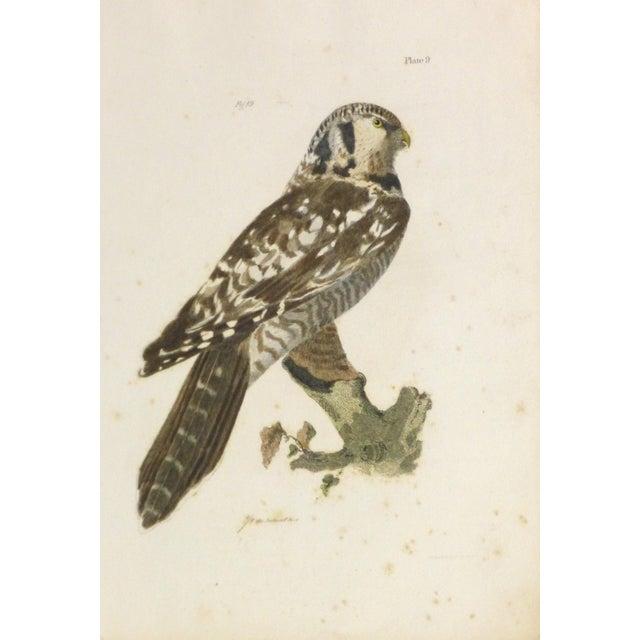 Antique Bird of Prey Engraving Print, C. 1850 - Image 1 of 4