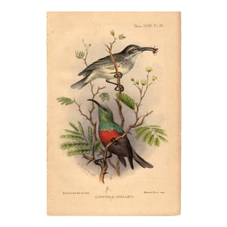 """Cinnyris Shelleyi"" Limited Edition Bird Lithograph Originally Hand-Colored and Pencil Signed by Henrik Gronvold 1899 For Sale"